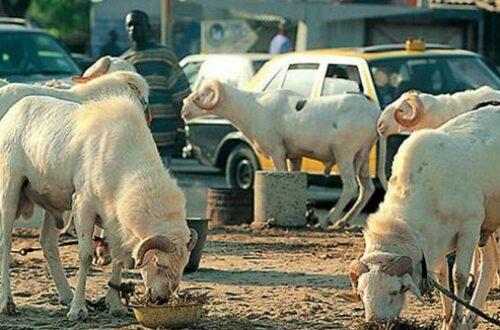 Article : Tabaski au Sénégal : rien ne se perd, tout se crée et se transforme en mouton