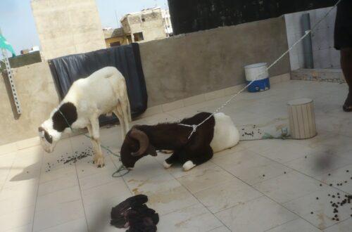 Article : A Dakar, nous pratiquons l'élevage en terrasse