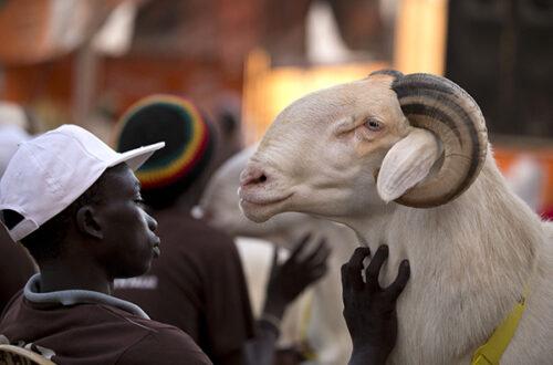 Article : Sénégal -Tabaski : acheter son mouton moins cher