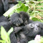 Bébé et maman gorille au parc national des volcans - Crédit photo : Derek Keats sur flickr.com