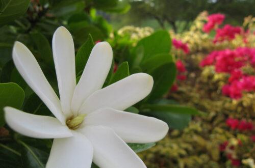 Article : Le tiaré Maohi, la reine des fleurs polynésiennes