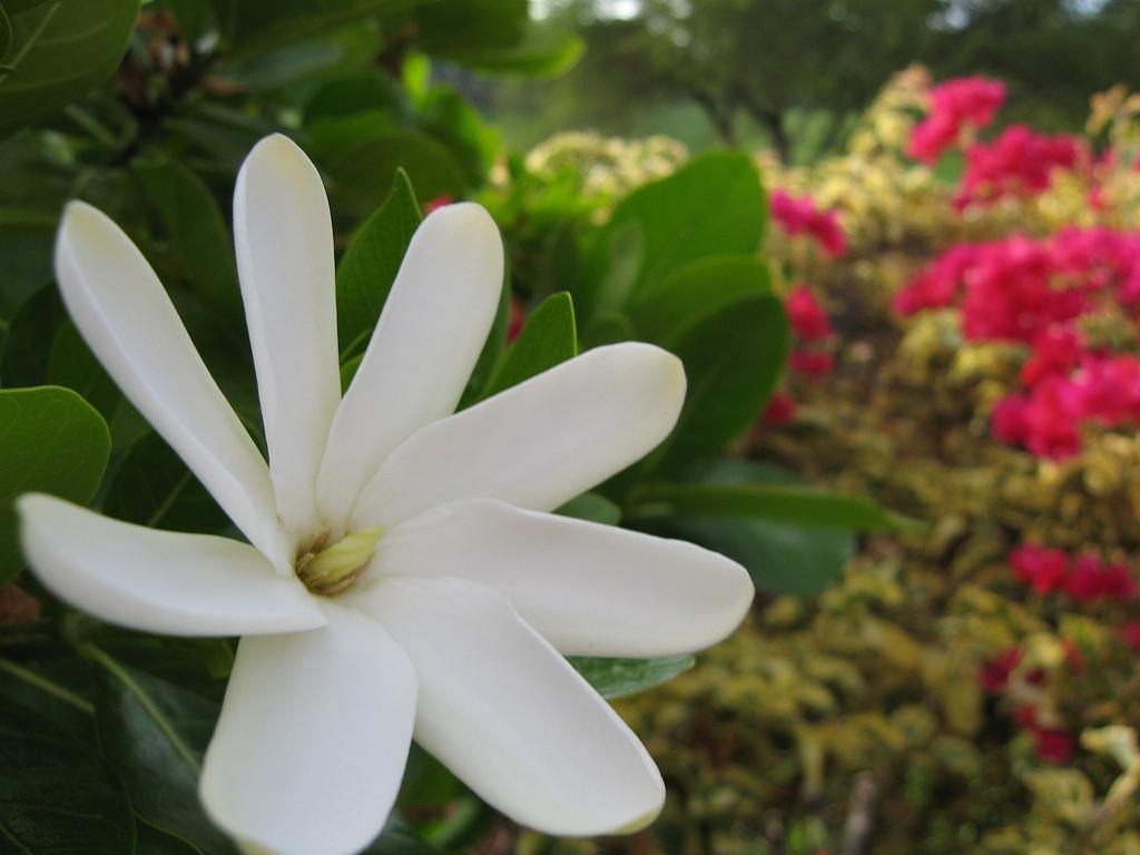 Le tiaré Maohi - Crédit photo : flickr.com