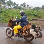 Bénin : transport de poulet par une moto - Photo : Roger Mawulolo
