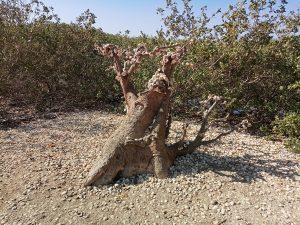 Somone : le baobab sacré - Photo : Roger Mawulolo