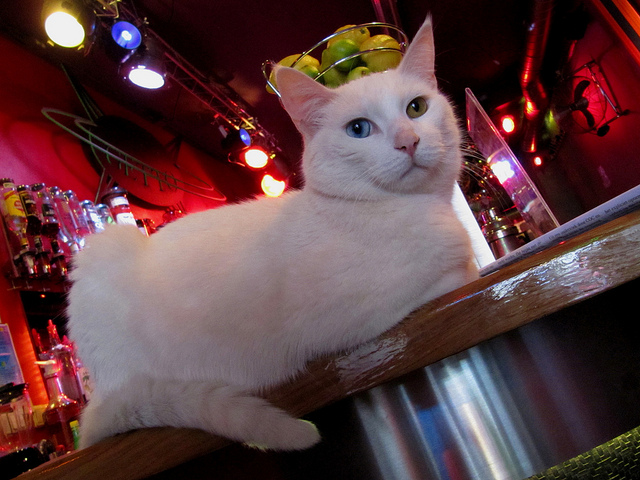 Un chat sur le bar - Photo libre : flickr - https://www.flickr.com/photos/tvbrt/4656852349